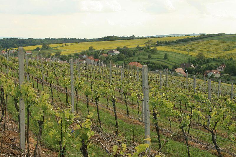 Modra Vineyard Czech Republic